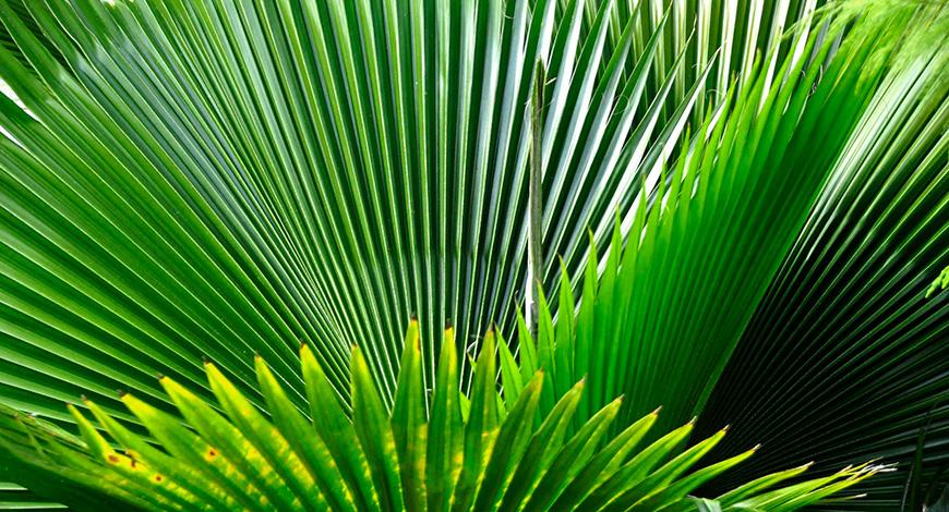Экстракт пальмы сереноа и лецитин