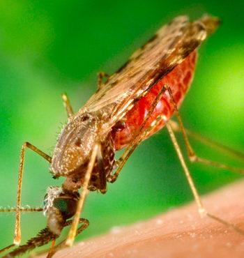 Малярия. Симптомы. Диагностика. Лечение.